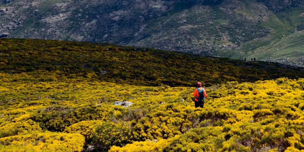Piornos en flor en sierra de Gredos
